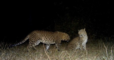 Camera trap image of courting leopard pair_©Ullas Karanth-WCS