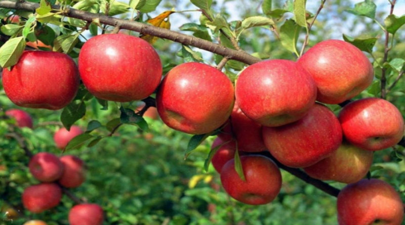 Image result for apple tree  in india