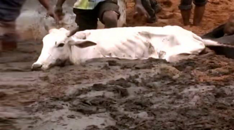 cows-starve-to-death