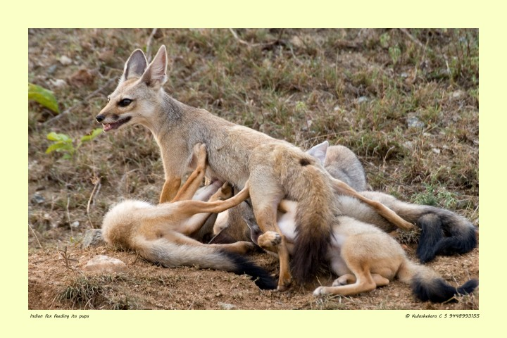 Indian fox feeding its pups (Small)