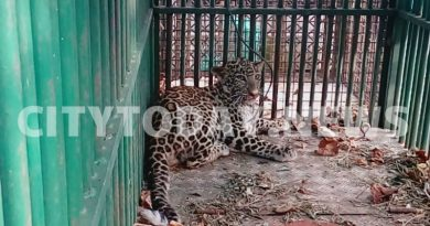 leopard caught