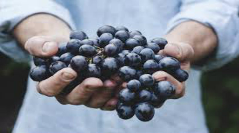 Grapes may shield you from Alzheimer's - Mysuru Today