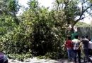 Banyan tree falls on parked car