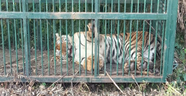 Forest officials trap tiger in HD Kote – Mysuru Today